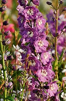 Larkspur Delphinium x cultorum 'Magic Fountains Lilac Pink'