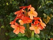Crossandra infundibuliformis, Aboli, Ratnagiri, Maharashtra, India