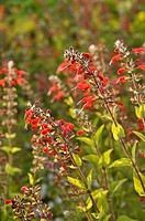 Blood sage Salvia coccinea 'Lady in Red'