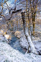 England, Northumberland, Plessey Woods Country Park, A recent snowfall transforms the woodland of the Plessey Woods Country Park.