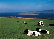 EVIE ORKNEY Friesian cow herd grazing Eynhallow Sound Enyhallow Rousay Island