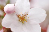 Cherry flower, close up