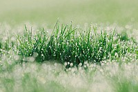 Germany, Bavaria, Dewdrops on grass blades, close_up
