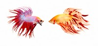 two colorful fish with long fins