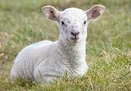 northumberland, england, a lamb