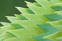 Close up of green serrated leaves