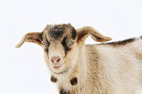 young domestic goat _ portrait _ cut out