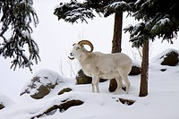 CAPTIVE: Dall Sheep ram standing in deep snow at the Alaska Zoo, Southcentral Alaska