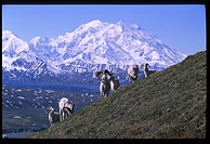 Dall Sheep Ram Mt McKinley Denali Natl Park Interior AK summer scenic