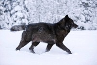 Alaska, Inside Passage, Adult male, Black Wolf in snow.
