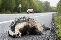 Dead animal on the road