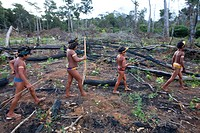 A lrage part of the Amazone has been destroyed and transferred into farmland The main crops being cultivated are soya, grass for cattle, and maize Mos...