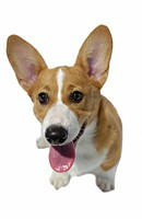 Welsh Corgi, white background
