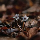 White flowers and fallen leaves, close up, differential focus, Chichibu city, Saitama prefecture, Japan