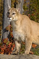 Cougar looking out while standing on a rock in an Autumn forest with red oak leaves