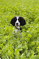 An English Springer Spaniel in a field in the Uk