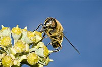 A Hover Fly on a flower  Syrphus ribesii