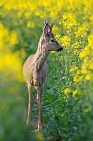 Roe deer, Male, Roe buck in rape field, Capreolus capreolus, Germany