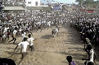 Jallikattu at Alanganallur near Madurai, Tamil Nadu  Jallikattu is a bull taming sport played in Tamil Nadu as a part of Pongal celebration  This is o...
