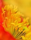 Icelandic Poppy Arctic Poppy, Papaver nudicaule bloom
