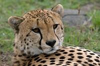 ghepardo, acinonyx jubatus, riserva faunistica di masai mara, kenya