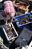 Lobster SHELLFISH FISHING Lobster fisherman selecting shellfish from netted catch boxes