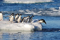 Ad&#233;lie Penguins Pygoscelis adeliae  Paulet Island, Antarctic Peninsula
