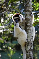 Verreaux Sifaka Propithecus verreauxi on a tree, Madagascar