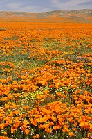 Poppies cover the meadows and hillsides in the Antelope Valley