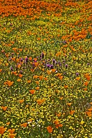 spring wildflowers are abundant in the Antelope Valley