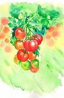 Flower, Watercolor painting of tomatoes