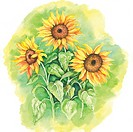 Flower, Watercolor painting of sunflowers