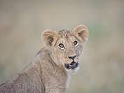 Lion Panthera leo cub portrait, Masai Mara Game Reserve, Kenya