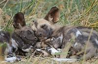 African Wild Dog Lycaon pictus pups sleeping in grass, Mashatu Game Reserve, Northern Tuli Game Reserve, Botswana