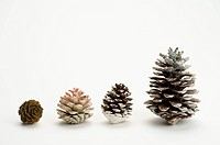 Pine Cones in a row, different sizes