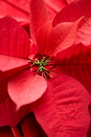 Close-up of Poinsettia (thumbnail)