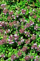 BEE GATHERING POLLEN FROM A WILD THYME FLOWER, LIMESTON HILL OF LA BANDONNIERE, LONGNY_AU_PERCHE, ORNE 61, NORMANDY, FRANCE