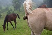 Horse defecating