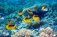 Red Sea racoon butterflyfish Chaetodon fasciatus  Egypt, Red Sea