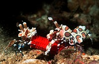 Harlequin shrimp Hymenocera picta, pair feeding on starfish leg  Andaman Sea, Thailand
