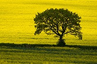 A single tree standing out against yellow oil-seed rape fields in the Cotswolds