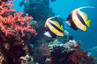 Red Sea bannerfish Heniochus intermedius pair with soft corals  Egypt, Red Sea  Digital capture