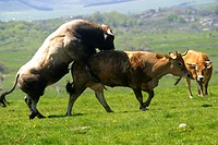 MATING OF AN AUBRAC COW AND BULL, TRANSHUMANCE, SUMMER PASTURE, AVEYRON 12, MIDI_PYRENEES, FRANCE