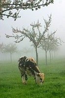 NORMANDY COWS GRAZING IN A MEADOW IN THE MIST, ORNE 61, NORMANDY, FRANCE