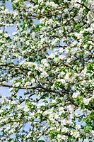 Abundant white blossom of an apple tree in the spring orchard