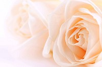 Macro of two delicate beige roses on white background