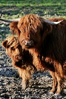 HIGHLAND COW AND ITS CALF, ORIGINATING FROM SCOTLAND