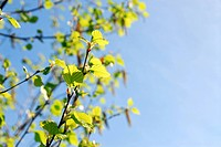 Background with spring birch branches and blue sky