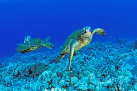 green sea turtles at cleaning station, Chelonia Mydas, Kona, Big Island, Pacific Ocean, Hawaii, USA