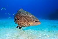 Black Grouper, Carcharhinus perezi, Mycteroperca bonaci, Grand Bahama, Atlantic Ocean, Bahamas